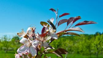 spring apple blossom close up
